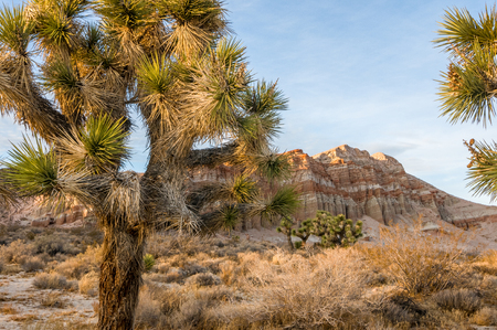 Red Cliffs Natural Preserve (Red Rock Canyon, CA) featuring joshua trees (Yucca brevifolia)