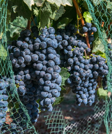 Bunches of purple grapes on the vine in Solvang, California Stock Photo