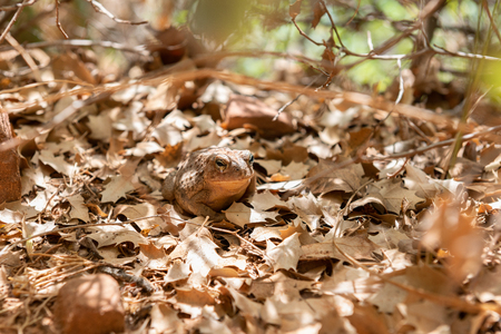 Camouflage amphibian in Zion National Park, Utah