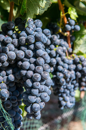 Bunches of purple grapes on the vine in Solvang, California Stock Photo - 115492657