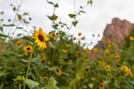 Bright yellow flowers in Zion National Park, Utah