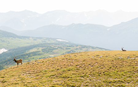 Buck seen from Trail Ridge Road to the alpine tundra in Rocky Mountain National Park, Colorado Stock Photo - 115492671