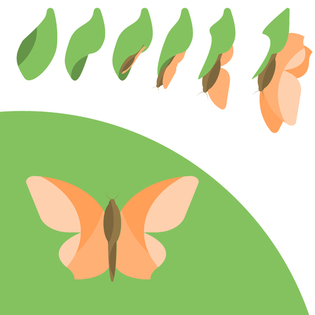 pupa: Butterly Life cycle in flat design Illustration