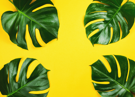 Four philodendron monstera on yellow. Tropical background.