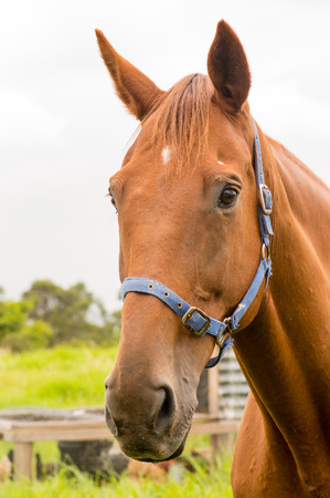 halter: Portrait of chestnut horse with blue halter with chicken coop in the background
