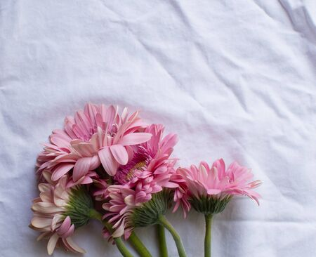 top down: Wilting pink gerberas on a white tablecloth (top down)