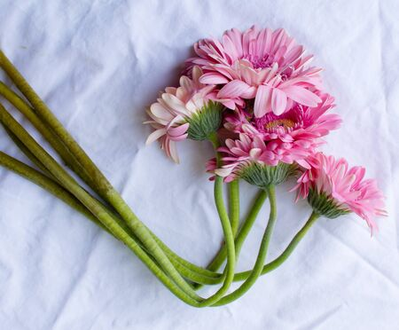 wilting: High angle view of wilting pink gerberas arranged on white tablecloth