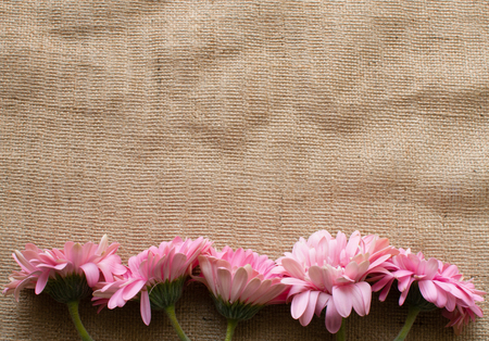wilting: Wilting pink gerberas arranged in a row on a hessian tablecloth (top down) Stock Photo