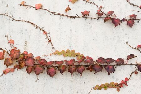 imperfect: Imperfect white exterior wall with red ivy climbing on it