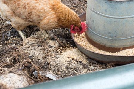 金属フィーダー (選択と集中) から穀物を食べる茶色の鶏のクローズ アップ