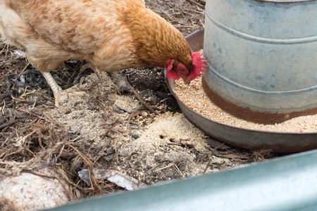 Closeup of brown chicken eating grain from metal feeder (selective focus) Stock Photo