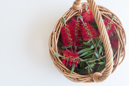 High angle view of Bottle brush Callistemon flowers in wicker basket on white background with copy space (selective focus)