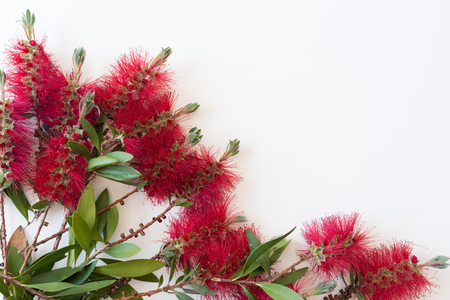 High angle view of Bottle brush Callistemon flowers arranged on white background with copy space (selective focus)