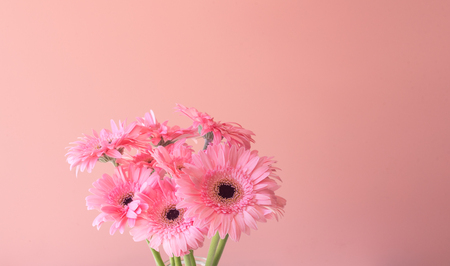Close up of pink gerbera daisies against pink background with copy space (selective focus)