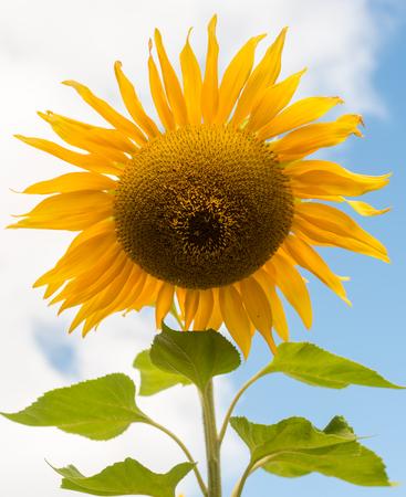 Sunflower against cloudy blue sky - portrait orientation (selective focus)
