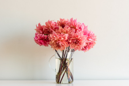 Close up of bright coral pink dahlias in glass jug on white shelf against neutral wall background (selective focus) Фото со стока