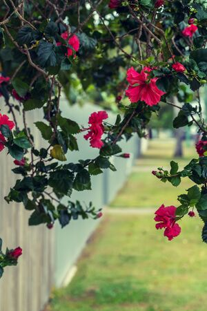 Bush of roses growing over the wooden fence