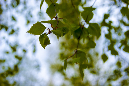 Young leaves of birch against the sky - smell a little pitchy warm resin, spring, cool - defocus Фото со стока