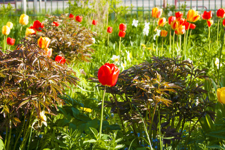 Flowers and plants - a red tulip against the background of other tulips in a flowerbed - summer, bright sunny noon Banco de Imagens