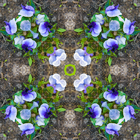 Square - pattern, kaleidoscope of photos of blue flowers growing in a flowerbed, pansies, design Archivio Fotografico - 124549515