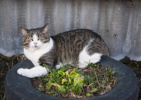 Early spring, mongrel white-gray cat with yellow eyes and a disgruntled expression on the face lies on a flower bed.