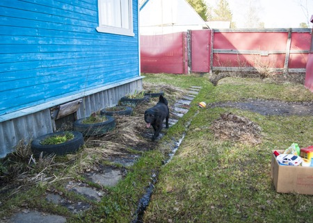Early spring, the village, black mongrel dog runs from the red fence home through the young grass.