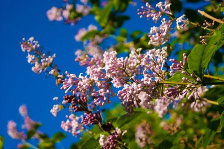 Spring flowers - a branch of pink blooming lilac on a background of bright blue sky. Aroma, tenderness, piercing, saturation, contrast