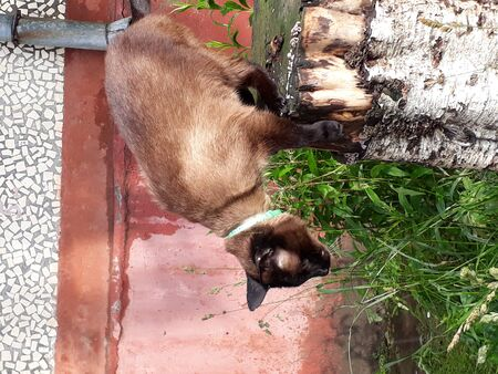 Thai cat sits on a high stump among the thick lush green grass and is afraid to jump off. Summer, greens, difficulties, cats.