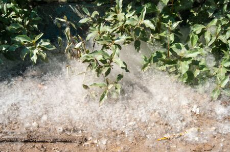 Poplar fluff, heat, July. A green bush stands in poplar fluff, like in a snowdrift. Poplar - green light earth. Oxygen production, air purification, but also the strongest allergen, allergy, tears, sneezing