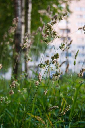 Herbstgras auf einem unscharfen Hintergrund. Unschärfe, blauer. August. Hochreifes Gras. Rasen gemäht.
