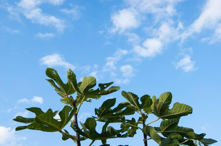 Large green palms of chestnut leaves stretch towards the blue sky with white clouds, as if in prayer.