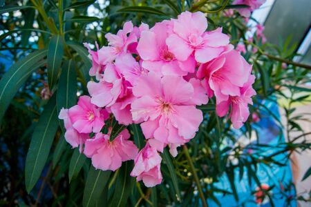 Lush clusters of pink oleander flowers. Horizontal photo.