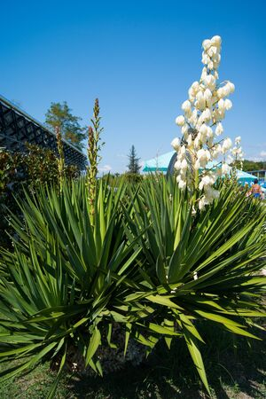 Small blooming palm tree - blue agave with a huge torch of white large flowers against a clear blue sky.