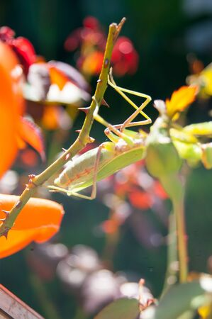 Mantis hides among the leaves of plants in the summer garden. Sunny summer day, side, rear focus, warmth, brightness, radiance Banco de Imagens