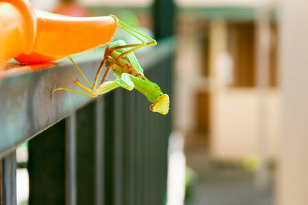 The mantis sits on the railings of the stairs against the background of the washed-out building. Blur, unfocus.