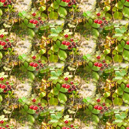 Seamless texture from the photo, endless pattern. Square. Background for a website, blog or app. Textiles, wallpapers, packaging. Red unripe blackberry berries against the background of leaves