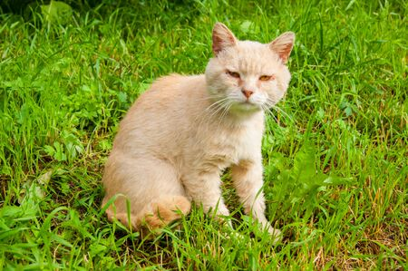 An unhappy very sad street cat sits on the green grass in the yard in the summer. Tramp with sore eyes