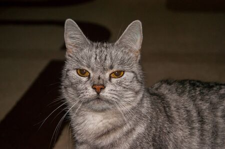 Unhappy beautiful gray striped cat with evil yellow eyes. Breed character