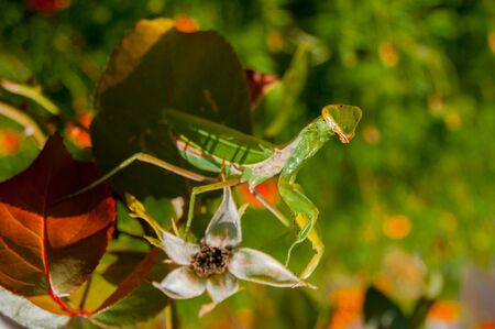 Mantis hides among the leaves of plants in the summer garden. Sunny summer day, side, rear focus, warmth, brightness, radiance Фото со стока