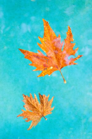 A beautiful orange leaf swims in clear turquoise water. Contrast. Autumn. Banque d'images