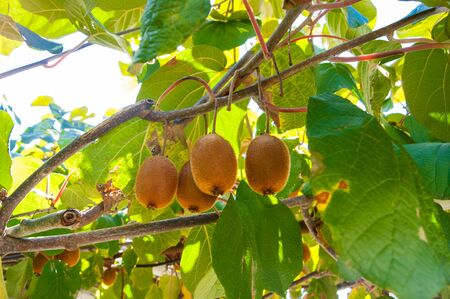 Kiwi fruit matures on a branch, through the leaves of the tree streams sunlight. Summer, Heat, nature, garden, fruit, juicy, bright, delicious