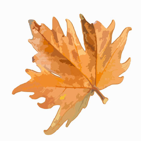 Maple leaf on a white background. Isolate. Autumn came, September, back to school, deciduous