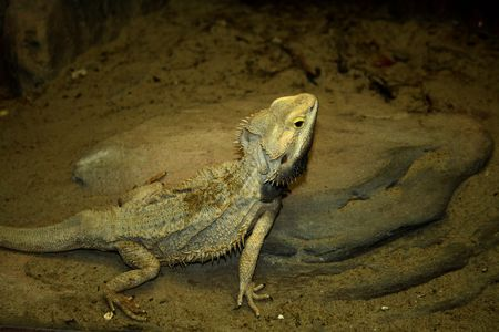 changing color: chameleon lizard changing color to sandy background