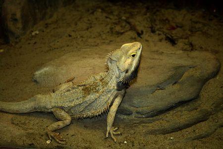 changing color: lagarto camale�n cambiando de color para arenosos de antecedentes