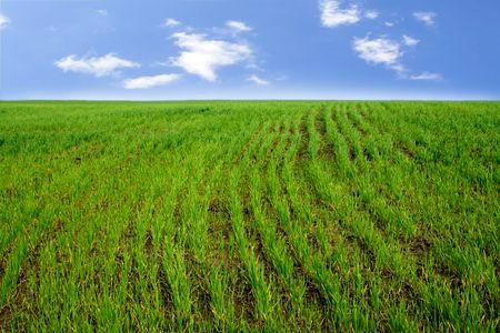 Rows of Wheat Sprouts on the Spring Field Stock Photo - 6927523
