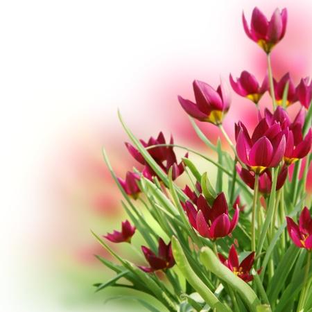Mooie Bloemen Crocus bloemenrand vierkante kaart Stockfoto