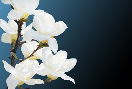 Blooming White Magnolia Flowers Over Blue and Black