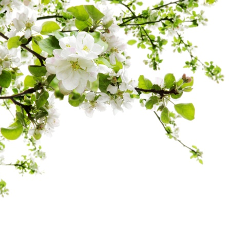 Spring Apple Tree Blooming Branches Border over White Stock Photo