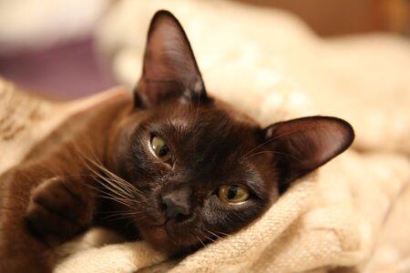 playfull burmese cat