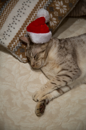 Cat ocicat in Christmas red hat, peacefully sleeping on the sofa on ornamented pillow. 免版税图像